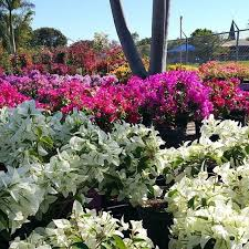 foto de casaplanta garden center miami fl estados unidos bougainvilleas are just