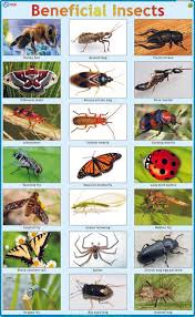 Beneficial Insects Chart Beneficial Insects In Agriculture India Insect Foto And
