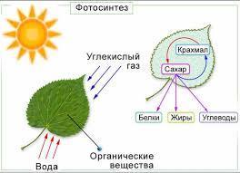 Реферат по биологии Фотосинтез Реферат по биологии Фотосинтез 3