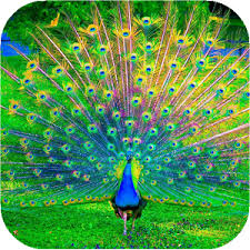 peacock wallpaper for mobile. Brilliant Peacock Intended Peacock Wallpaper For Mobile R