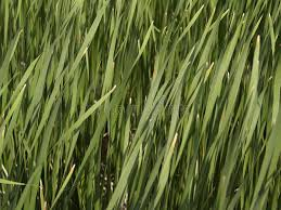 Tall Grass Texture stock image Image of plants grass 983277