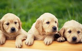 dogs s s dogs puppies pets retriever s 1920x1200 wallpaper dogs wallpapers