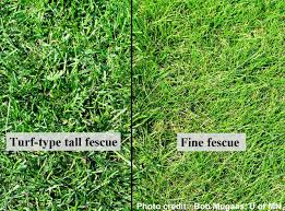 Image result for fescue