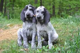 Bluetick Coonhound Size Chart 11 Dog Breeds Bred For Surprisingly Complex Reasons Dog