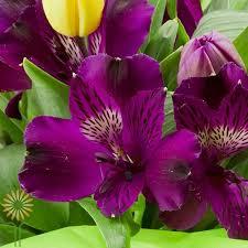 whole purple alstroemeria lily