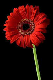 red gerber daisy flower on black background art prints by morgan howarth shop canvas and framed wall art prints at imagekind  on gerber daisy canvas wall art with red gerber daisy flower on black background art prints by morgan