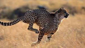 cheetah wallpapers backgrounds images 1920x1080 best cheetah desktop wallpaper sort wallpapers by ratings