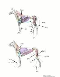 Acupressure For Canine Hip Dysplasia And Equine Hind End