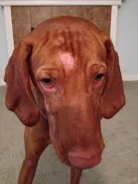 demodex mites dogs. Modren Demodex IMG_0681 With Demodex Mites Dogs E