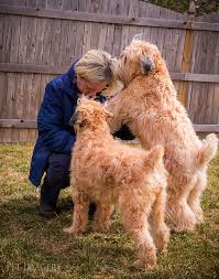 scandal and sizzle soft coated wheaten