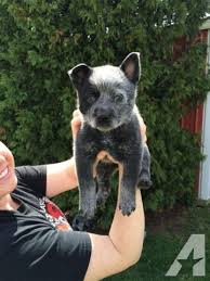 blue heeler dogs for in ohio clifieds and sell in ohio americanlisted