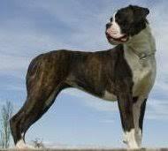 Brindle Color Chart Boxer Dog Colors The Boxer Dog Information Center