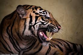 tiger roar side view. Beautiful Roar Natural Poser But Despite Her Anger Ana Came Round In The End And Couldn And Tiger Roar Side View D