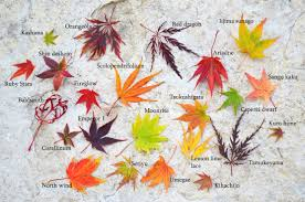 Japanese Maple Growth Chart Japanese Maple Leaf Comparison And Fall Color Comparison