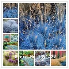 100 blue fescue grass seeds festuca glauca perennial hardy ornamental grass bonsai flower pot planters for home garden beautifying office bonsai grass pots planters mini