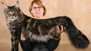 Maine Coon Thailand In Cattery Cats