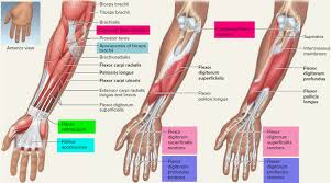 The common extensor tendon serves as the upper attachment (in part) for the superficial muscles that are located on the posterior aspect of the forearm: Flexor Tendon Forearm Page 1 Line 17qq Com