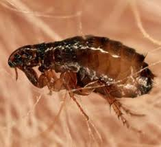 can fleas live on humans can i get