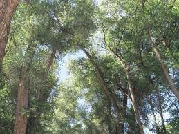 Alvin Burch's cottonwood trees continue to captivate Taos | La Vida |  taosnews.com
