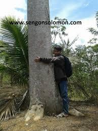 Sengon Solomon, Sang Pohon Raksasa Penghasil Uang - Kompasiana.com