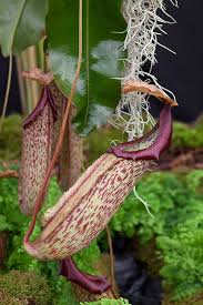 room plants x: house plants the pitcher plant nepenthes x mixta superba is a