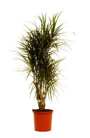 indoor home office plants royalty. perfect royalty good for medium and high light but no good low conditions  hates to be overwatered classic architectural office  in indoor home office plants royalty s