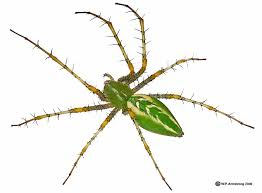 Image result for images of green lynx spider