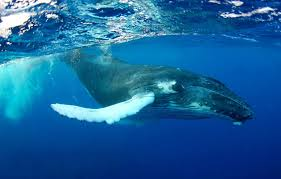 Fascinating Humpback Whale Facts