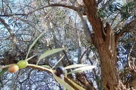 Olive Tree Information Wikifarmer