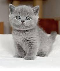 chion british shorthair kittens changi
