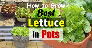 growing lettuce in containers how to grow lettuce in pots balcony garden web