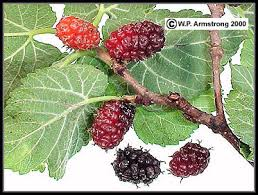White Mulberry Tree For Sale At Paradise Nursery  Persian Toot Mulberry Tree No Fruit