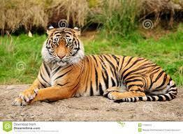 141,566 Tiger Photos - Free & Royalty ...