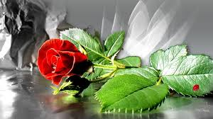 Free Wallpapers Red Rose Love Single ...