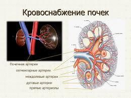 Кровоснабжение почки особенности анатомии и связь с функцией кровоснабжение почки Отвечая за нормальный водно солевой баланс органы требуют усиленного кровообращения