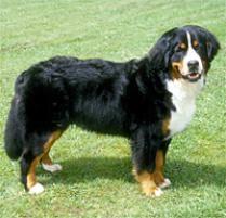 adopt a bernese mountain dog