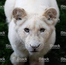 white lioness. Beautiful White White Lioness Royaltyfree Stock Photo In White Lioness M