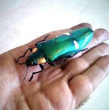 แมลงทับ
