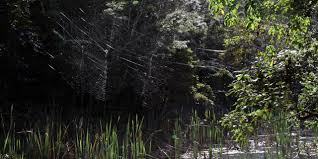 How To Make A Giant Spider Web Bbc Earth The Worlds Biggest Spider Web Can Span An Entire River