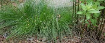 Image result for cherokee sedge