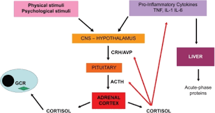 Schema Of Hypothalamus Pituitary Adrenal Hpa Axis Open I