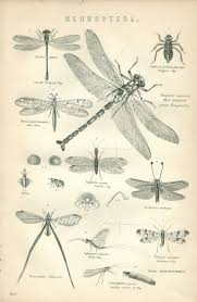 Dragonflies Wall Decor Antique Print Dragon Fly Chart 1890 Beautiful Wall Art Vintage B
