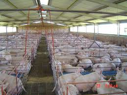 Pig Farming Business Plan Piggery Project Business Plan Rottenraw Rottenraw