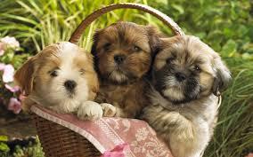 basket of cute puppies desktop wallpaper