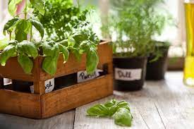 companion plants for herbs in pots