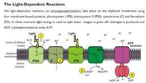 Light Dependent Reaction Photosynthesis Biology