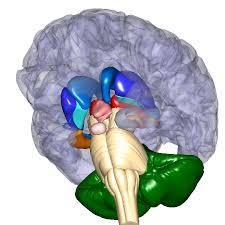 「大脳基底核」の画像検索結果
