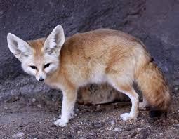 fennec fox.  Fox To Fennec Fox Wikipedia