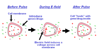 Bacterial Transformation Electroporation Society For Mucosal