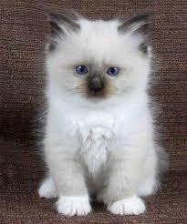 Small Picture Best 25 Ragdoll kittens ideas on Pinterest Ragdoll kittens for